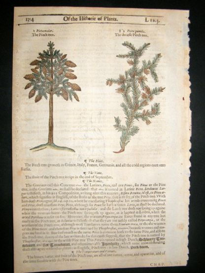 Gerards Herbal 1633 Hand Col Botanical Print. Pitch Pine Tree | Albion Prints